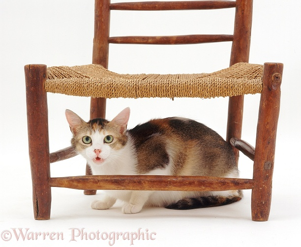 Anxious Tonkinese-cross tortoiseshell cat Puzzle hiding under a chair and wailing, white background