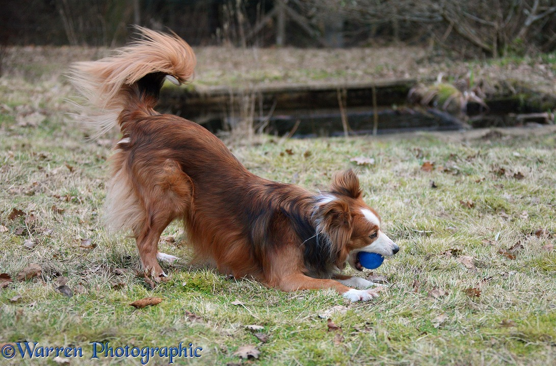 Border Collie, Lollipop, playing with a ball