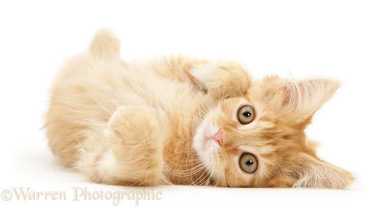 Ginger Maine Coon kitten lying on its side, white background