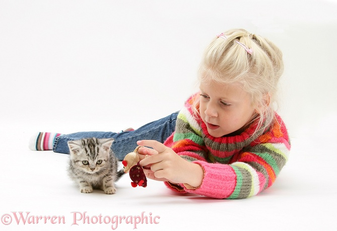 Siena trying to get a silver tabby kitten to play with toy mice, white background