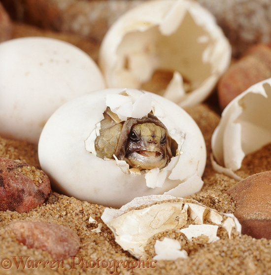 Spur-thighed Tortoise (Testudo graeca) hatching from its egg