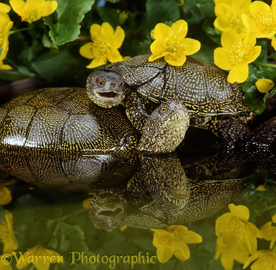 Pair of European Pond Turtles (Emys orbicularis) hauled out on a log, male on top