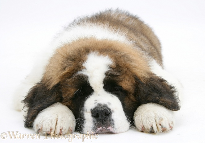 Saint Bernard puppy, Vogue, asleep, white background