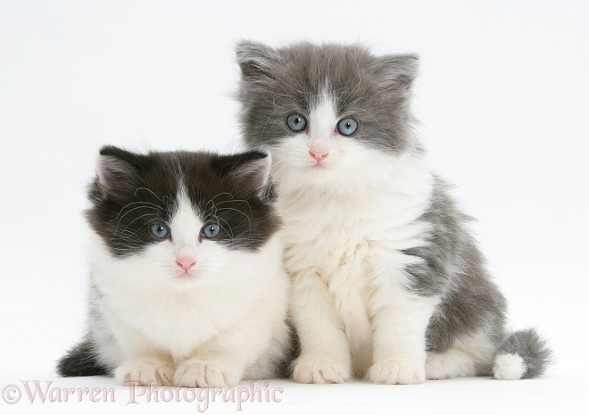 Black-and-white and grey-and-white kittens, white background