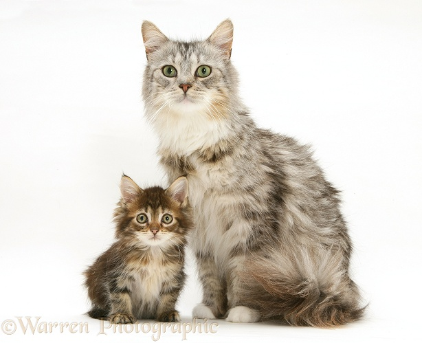 Maine Coon mother cat and kitten photo - WP23098 Tabby Maine Coon Kitten