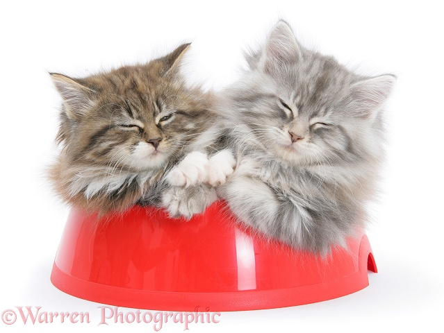 Maine Coon kittens, 8 weeks old, sleeping in a plastic food bowl, white background
