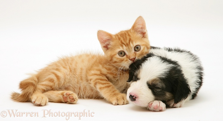 British shorthair red spotted kitten with sleepy tricolour Border Collie pup, both 5 weeks old, white background
