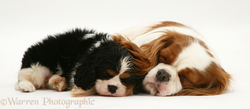 Sleepy Blenheim Cavalier King Charles Spaniel bitch with her tricolour pup, white background