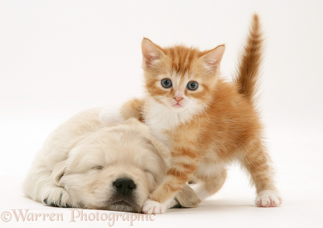WP23140 Red tabby kitten with paw up on sleeping Golden Retriever pup.