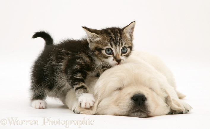 Tabby kitten with paw up on sleeping Golden Retriever pup, white background