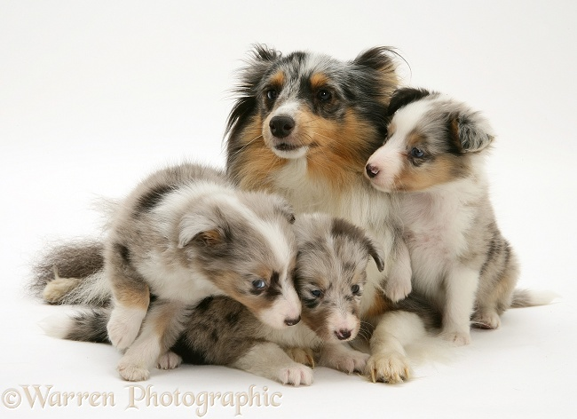Tricolour merle Shetland Sheepdog, Sapphire, with three pups, white background