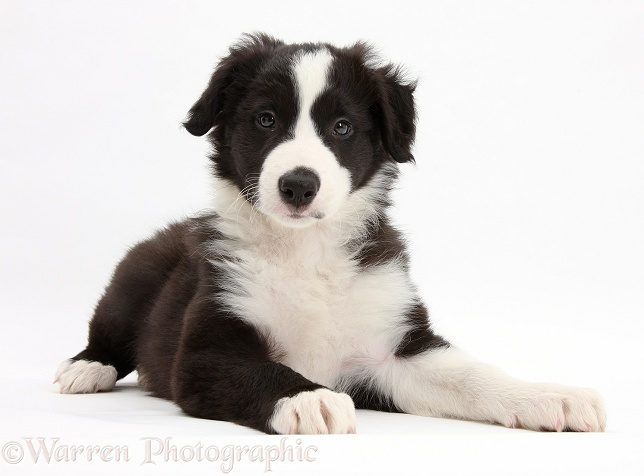 Black-and-white Border Collie pup, Gus, lying with head up, white background