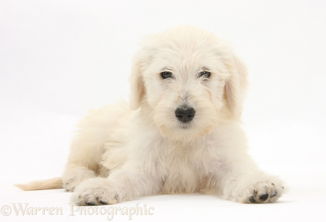 Labradoodle pup, 9 weeks old, white background