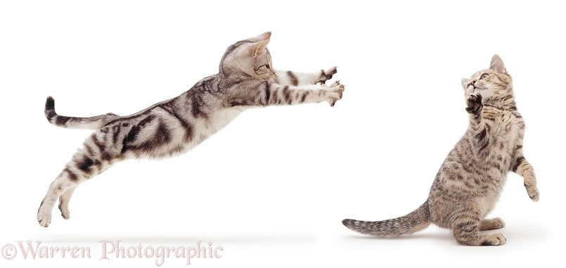 Silver tabby cats play-fighting, white background