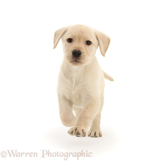Yellow Labrador Retriever pup, 8 weeks old, running forward, white background