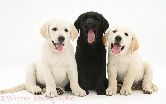 Yellow and black Goldador Retriever puppies, white background