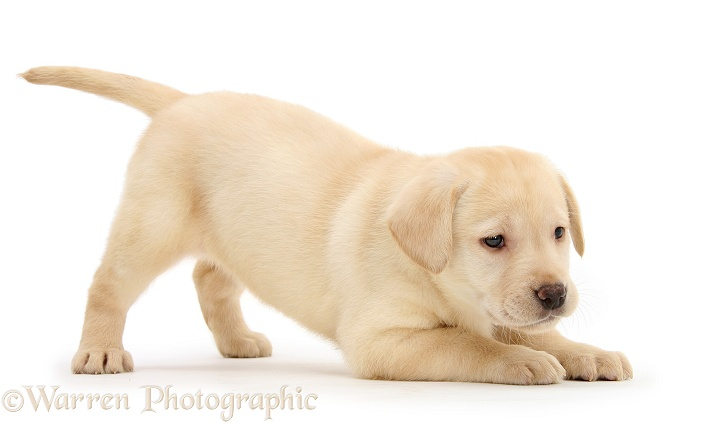 Yellow Labrador Retriever puppy, 7 weeks old, in play-bow, white background