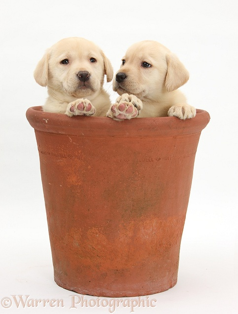 Yellow Labrador Retriever puppies, 7 weeks old, in a flowerpot
