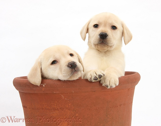 Yellow Labrador Retriever puppies, 7 weeks old, in a flowerpot, white background