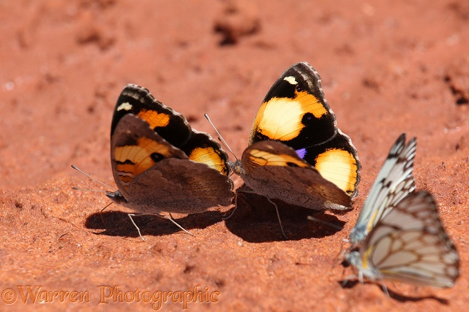 Yellow Pansy Butterflies (Precis hierta) sucking mineral-rich moisture from damp earth