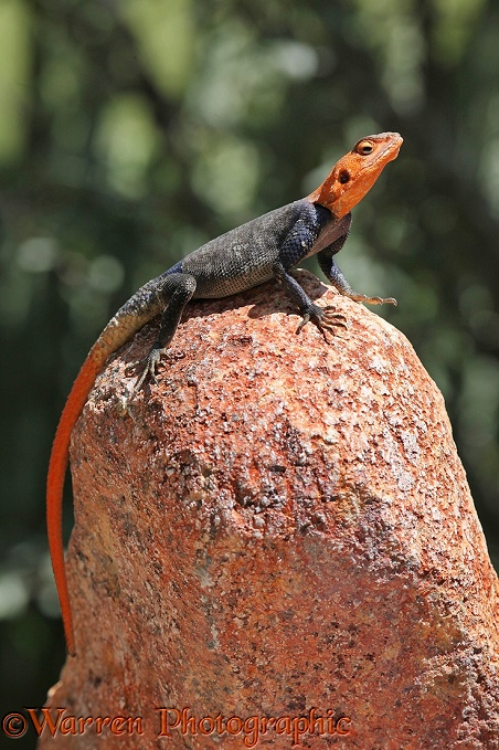 Namibian Rock Agama (Agama planiceps) male.  Southern Africa