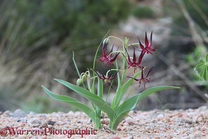 Miniature desert lily (unidentified) northern Namib Desert