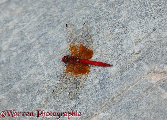 Orange-winged, or Rock Dropwing (Trithemis kirbyi)