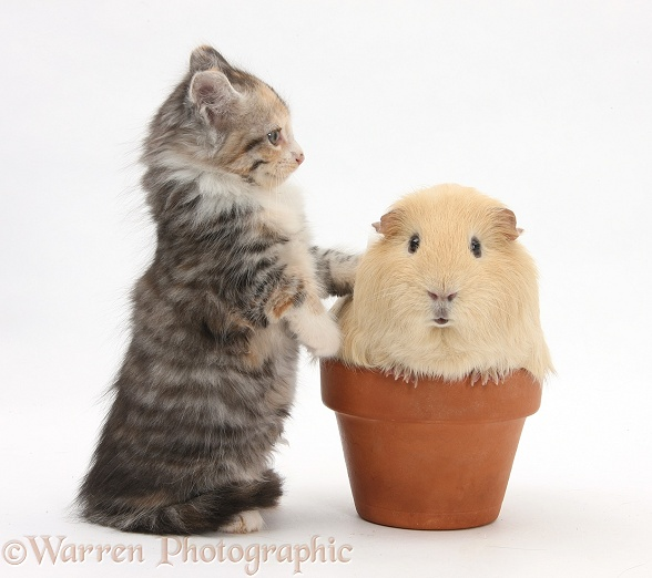 Tabby tortoiseshell Maine Coon-cross kitten, 7 weeks old, and yellow Guinea pig in a flowerpot, white background