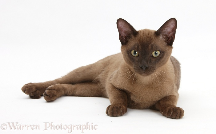 Young Burmese cat, white background