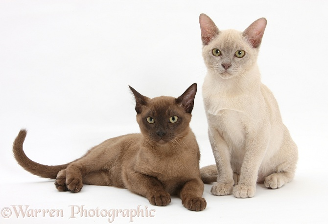 Young Burmese cats, white background