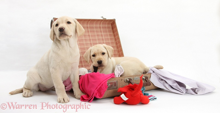 Naughty Yellow Labrador Retriever pups, 9 weeks old, busy unpacking the suitcase, white background