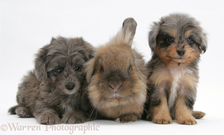 Shetland Sheepdog x Poodle pups, 7 weeks old, with Lionhead x Lop rabbit, white background