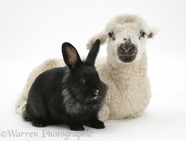 Lamb and black rabbit, white background