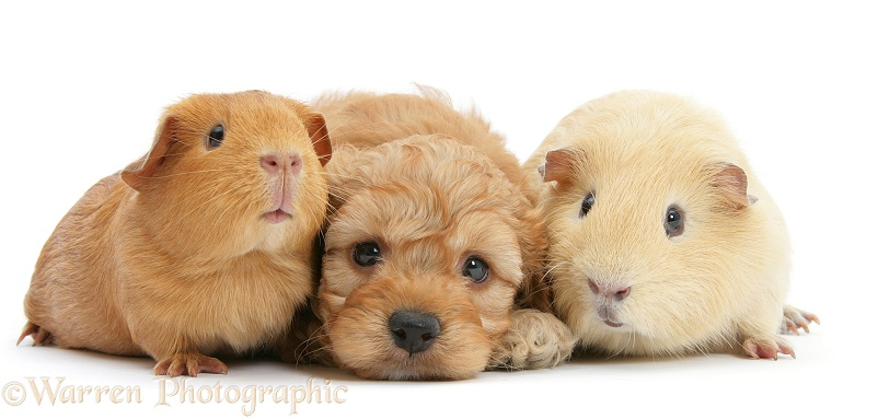 Golden Cockapoo pup, 6 weeks old, with Guinea pigs, white background