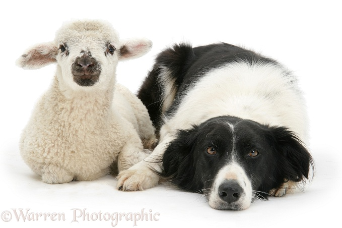 Lamb and black-and-white Border Collie, Phoebe, white background