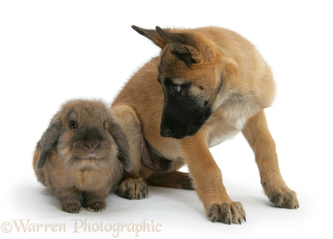 Belgian Shepherd Dog pup, Antar, 10 weeks old, with a Lionhead rabbit, white background