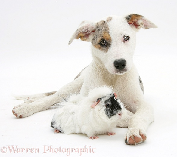 Merle-and-white Border Collie-cross dog pup, Ice, 14 weeks old, with a black-and-white guinea pig, white background