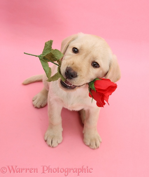 Yellow Labrador Retriever bitch pup, 10 weeks old, holding a red rose and looking up