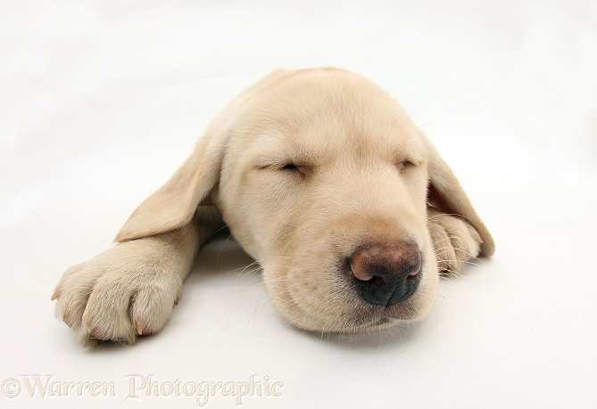 Yellow Labrador Retriever pup, 8 weeks old, asleep, white background