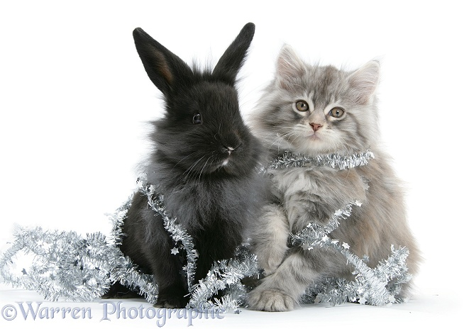 Maine Coon kitten, 8 weeks old, and black baby Dutch x Lionhead rabbit with tinsel, white background