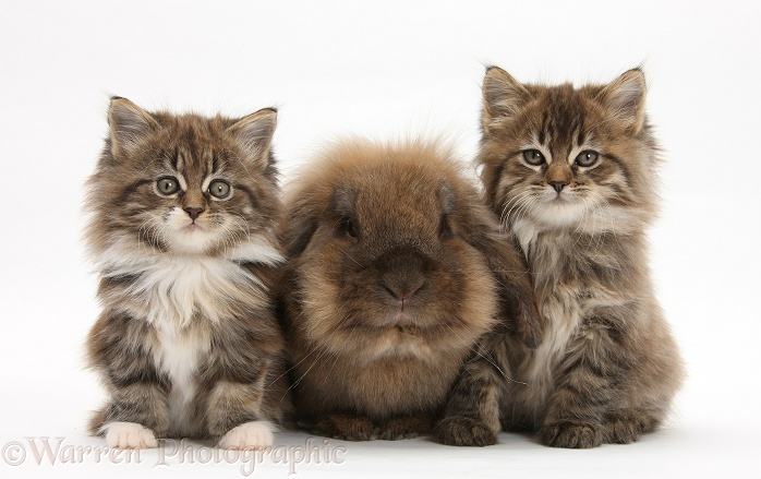 Maine Coon kittens, 7 weeks old, and Lionhead rabbit, white background