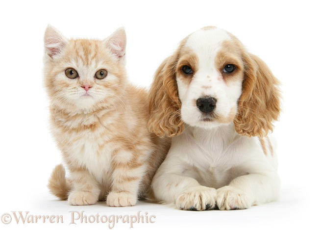 Orange roan Cocker Spaniel pup, Blossom, with ginger kitten, white background