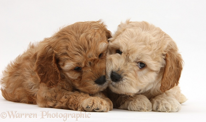 Golden Cockapoo pups, white background