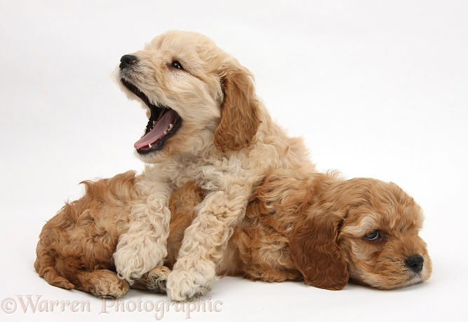 Sleepy golden Cockapoo pups, white background