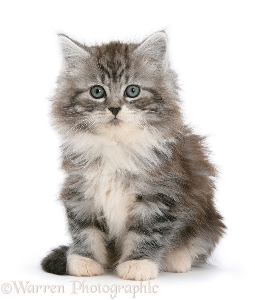 Maine Coon kitten, 8 weeks old, white background