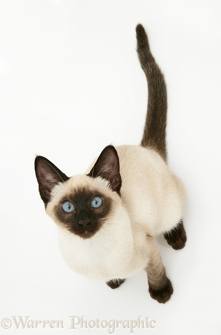 Seal-point Siamese kitten looking up, white background