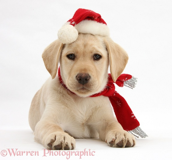 Yellow Labrador Retriever bitch pup, 10 weeks old, wearing a scarf and Father Christmas hat, white background