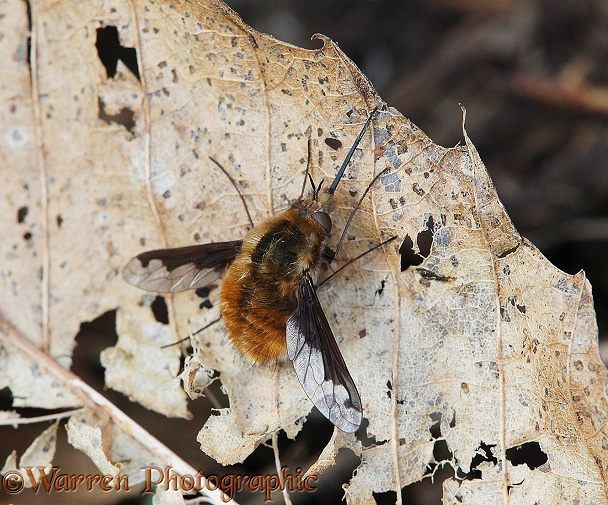 Bee Fly (Bombylius major) sunning on a dead leaf.  Europe