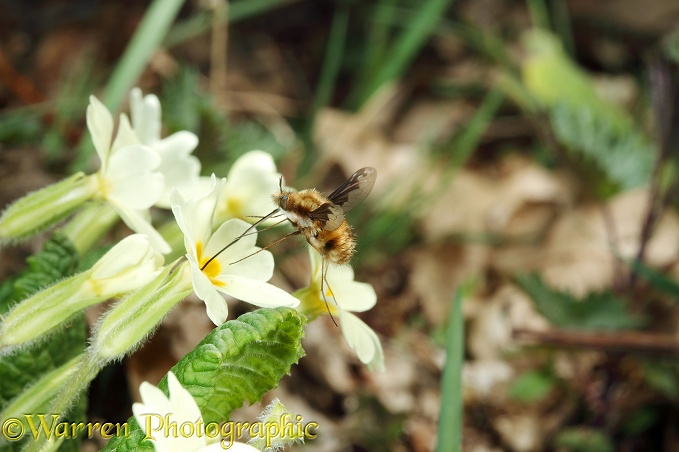 Bee Fly (Bombylius major) visiting Primrose (Primula vulgaris).  Europe
