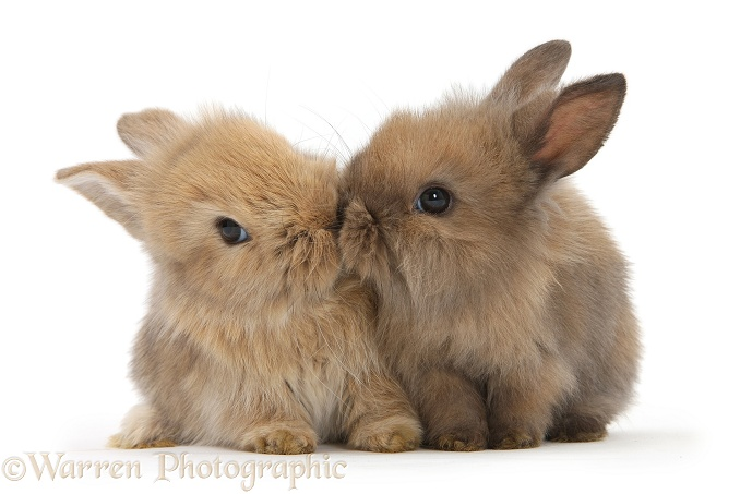 Two cute baby Lionhead-cross bunny rabbits kissing, white background